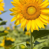 Sunflower closeup in  field — Foto de Stock