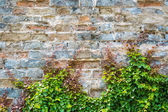 Ivy with old city wall — Stock Photo