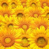 Sunflower background closeup — Stockfoto