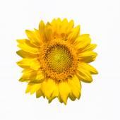 Zonnebloem bloem geïsoleerd — Stockfoto