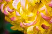 Chrysanthemum macro — Stock Photo