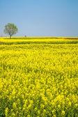 Spring landscape of rape in full bloom — Stock Photo