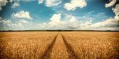 Cesta přes pole pšenice — Stock fotografie