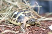 Hermann's tortoise (Testudo hermanni boettgeri) — Stock Photo