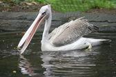 White pelican (Pelecanus onocrotalus) — Stock Photo