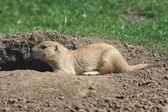 Prairie dog (Cynomys) — Stock Photo