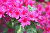 Rododendro — Fotografia Stock