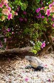 Iguana basking in sun — Stock Photo