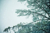 Snow covered tree blowing in wind — Stock Photo