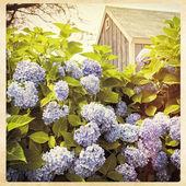 Hydrangeas, instagram style filter — Stock Photo