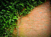 Ivy on a brick wall — Stock Photo