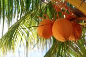 Coconuts on Palm Tree — Stock Photo