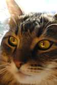 Maine coon cat's face — Stock Photo