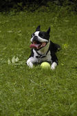Boston Terrier dog with ball — Photo