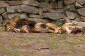 Sleeping lion and lioness — Stock Photo