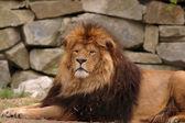 Löwe im zoo — Stockfoto