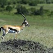 Grant's gazelle — Stock Photo #52484955