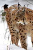 Winter Lynx — Stock Photo