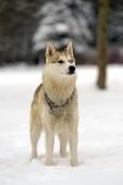 Husky — Photo