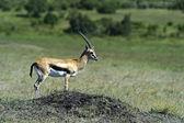 Grant's gazelle — Stockfoto