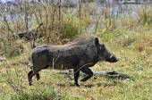 Warthog — Stock fotografie