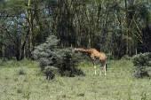 Giraffe — Stock Photo