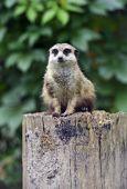 Meerkats — Stockfoto
