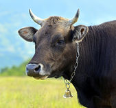 Carpathian cow — Stock Photo
