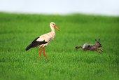 Stork  — Stock Photo