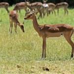 ������, ������: Impala gazelle