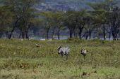 アフリカのシマウマ — ストック写真