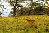 Impala gazelle — 图库照片