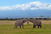 乞力马扎罗大象 — 图库照片
