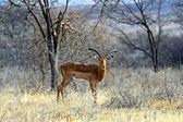 Impala gazelle — Foto Stock