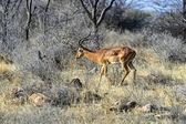 Impala gazelle — Zdjęcie stockowe