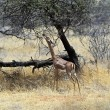 Gerenuk — Stock Photo #55078135