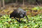 African Hadeda Ibis National Park Lake Naivasha — Stock Photo