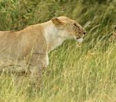 Leões mara masai — Fotografia Stock