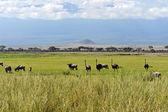 Ostriches Kilimanjaro — Stock Photo