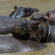 African hippo — Stock Photo #58661725