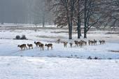 Стадо пятнистых оленей зимой — Стоковое фото