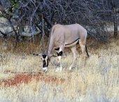 Oryx gazella — Stock Photo