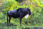 African Antelope Wildebeest — Stock Photo