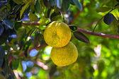 Fruit on the island of Sri Lanka — Stock fotografie