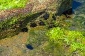 A sea urchin in a rock pool. — Foto Stock