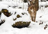 Lynx — Foto Stock