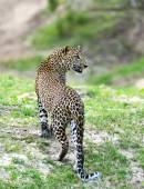 Leopard — Stockfoto