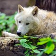 Polarwolf — Stockfoto #66434731