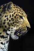 Leopard — Stok fotoğraf