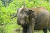 Hintli fil — Stok fotoğraf